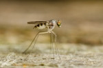 Long-legged fly (Dolichopodidae) by Morgan Jackson