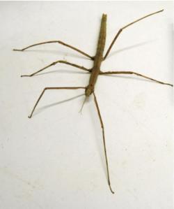 Stick Insect Baculum extradentatum