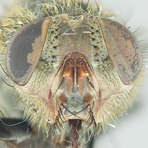 Pollenia rudis Face