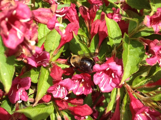 A carpenter bee, Xylocopa virginica, sitting on a Weigela flower and taking nectar through a hole it has cut in the base of the corolla. Photo: Laura Timms