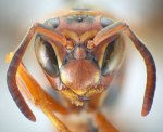 Mug shot of a female of Polistes hirsuticornis Buck. Vespidae Wasp