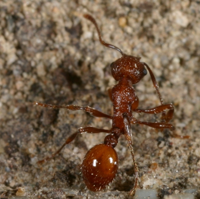 Myrmica brevispinosa, the short-spined ant
