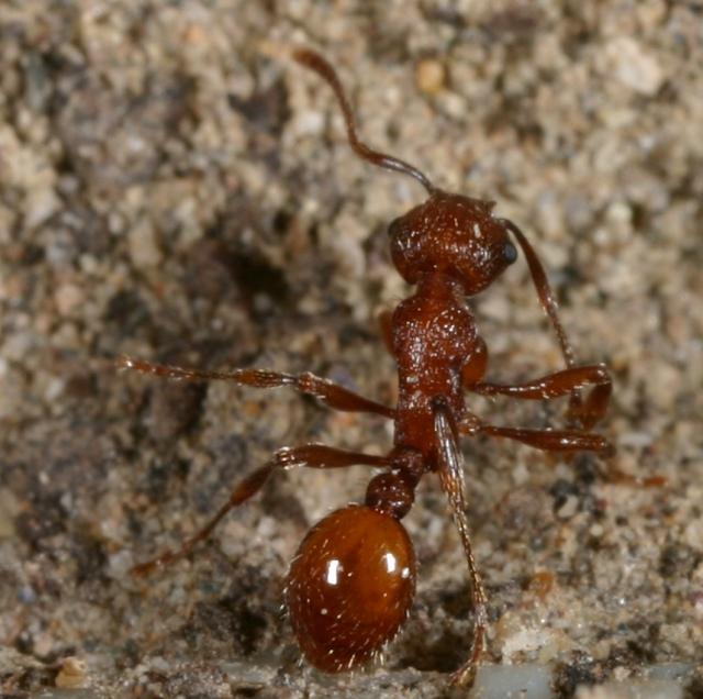 Myrmica brevispinosa, the short-spined ant