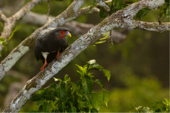 Red-throated Caracaras are specialist predators of social wasps, and a common resident of the Nouragues Reserve. (Photo: S. McCann)