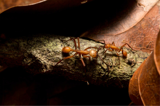 Army ants (Eciton spp.) are one of the wonders of the Neotropical raindforests. Go. See. Them. (Photo: S. McCann)