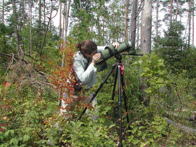 Looking for wood wasps - Photo by K. Ryan