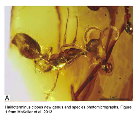 Haidoterminus cippus. Figure 1 from McKellar et al. 2013