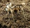 The Romanian Tarantula