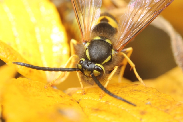 Vespula male mating-5371 small