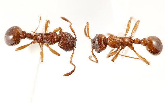 myrmica comparison widescreen