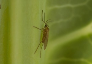 Adult swede midge, Contarinia nasturtii. Photo credit: D.K.B. Cheung