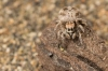 Behavioural observations in nature reveal mating strategies of jumping spiders
