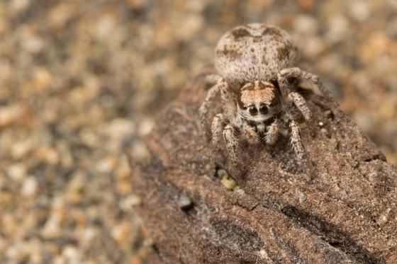 An adult female Habronattus americanus jumping spider in natural beach habitat. Females are avid hunters. Photo credit: Sean McCann