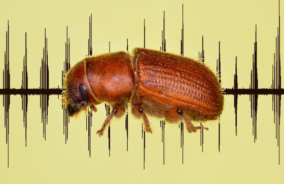 A male red turpentine beetle over the sound wave of a train of its interrupted chirps.