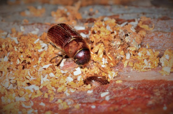 A male red turpentine beetle at the entrance to a female's gallery. Female is visible blocking the gallery entrance.
