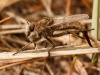 Finding a rare robber fly in the Okanagan