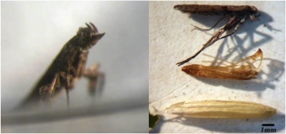 Fig. 1 The ash leaf coneroller, Caloptilia fraxinella (Ely) (Lepidoptera: Gracillaridae) adult, pupal exuvium and cocoon.