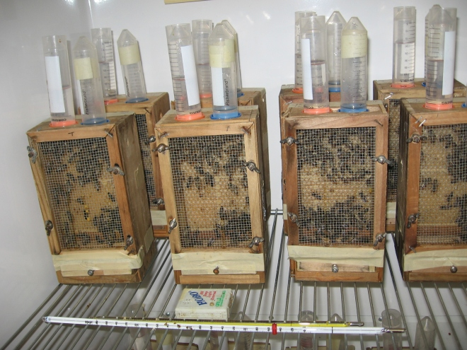 A setup to study the effects of Nosema on Varroa mite removal in honeybees (Photo: Rasoul Bahreini)