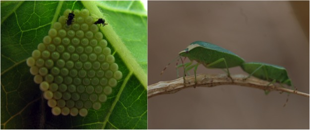 Trissolcus basalis (Hymenoptera: Platygastridae) parasitizing the eggs of its host Nezara Viridula (Hemiptera: Pentatomidae). These parasitoids can detect their host's