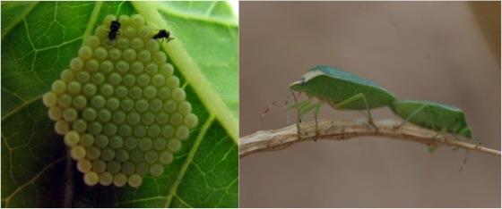 Trissolcus basalis (Hymenoptera: Platygastridae) parasitizing the eggs of its host Nezara Viridula (Hemiptera: Pentatomidae). These parasitoids can detect their host's