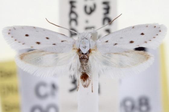 yucca moth 2